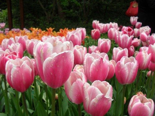 tulipani a keukenhof