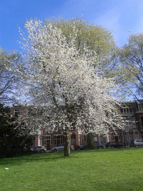 Primavera Olanda